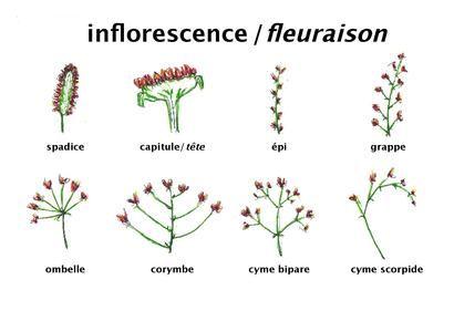 L Inflorescence Du Latin Inflorescere Fleurir Est La