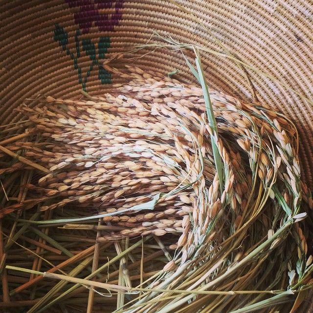 """#riso #passiu #carnaroli #buono #sano #agricolapassiu #qualità #sardegna #oristano #campidano #igersoristano #rice #country #farm #fields #italy #food…"""