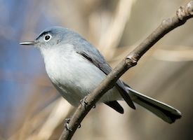The Blue-gray Gnatcatcher is the northernmost-occurring species of gnatcatcher, and the only truly migratory one. Most members of its genus are resident in the Neotropics.  The soft, rambling song of the Blue-gray Gnatcatcher usually contains some mimicked songs of other bird species.