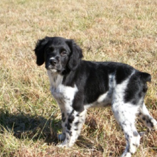 French Brittany pup - looks similar to our when he was a pup.