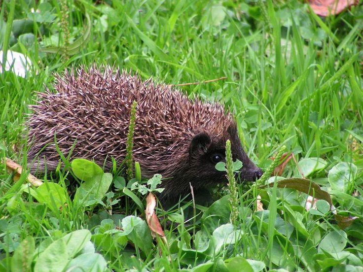 On rencontrera le hérisson partout où il peut trouver gîte et nourriture: en lisière de forêt, dans les prés bordés de haie (paysage de bocage) ou dans les parcs et jardins. Dans nos jardins, on le dénichera plutôt sur le tas de compost où il trouve les...