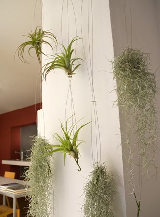 hanging airplant : Plants Hangers, Hanging Airplant, Foyers Ideas, Exterior Gardens, Airplant Hung, Air Plants, Teacrea Airplant, Airplant Tillandsia, Airplant Succulents Terrarium