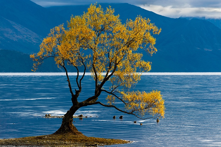 A tree in its autumnal attire seems to play with the ducks on the shore of Lake Wanaka, New Zealand.
