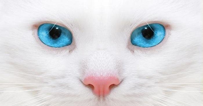 Todo sobre las enfermedades oculares en los gatos