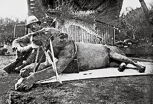 The Tsavo Man-Eaters were a pair of notorious man-eating Tsavo lions responsible for the deaths of a number of construction workers on the Kenya-Uganda Railway from March through December 1898. The first lion killed by Patterson, now known as FMNH 23970.