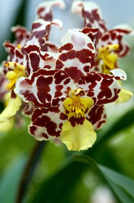 ✯ Orchid 1868 .. By Andy Small✯