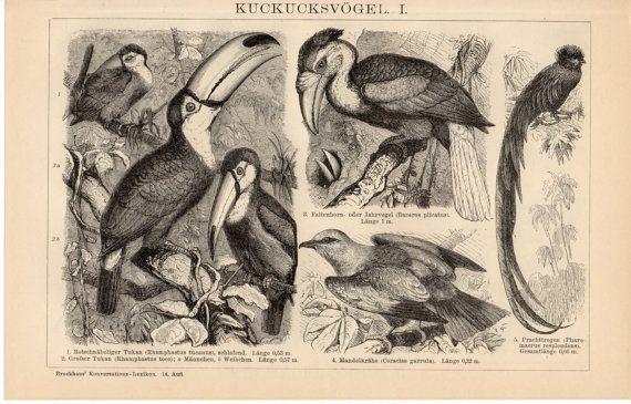 1908 Antique Birds Print, Cuckoo, Toucan, Toco Toucan, Papuan Hornbill, Roller Bird, Quetzal, Bee-eater, Hoopoe, Ani, German Lithograph