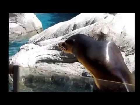 Los Leones Marinos Del Zoo De Madrid 2015