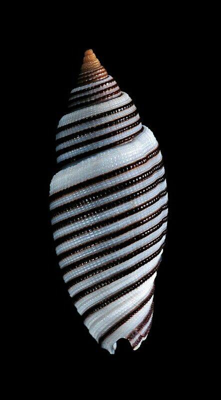 Cancilla (Domiporta) filaris