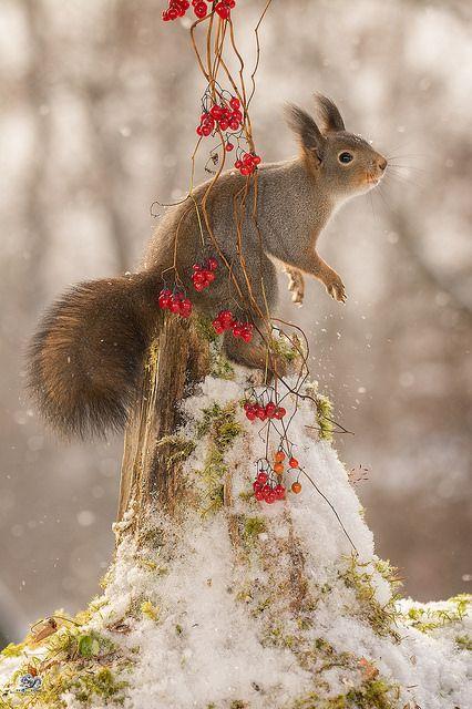 little christmas feeling -- squirrel  | von Geert Weggen