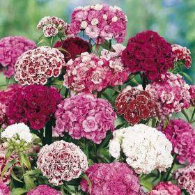 GD040598 Pflanzen - Saatgut - Blumensamen - Bartnelken Duplex-Mischung, gefüllt