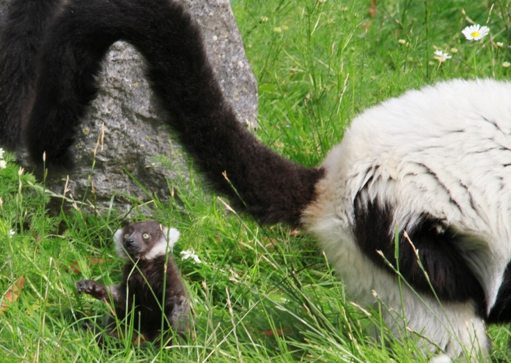 A baby Black and White Ruffed Lemur at Fota Wildlife Park