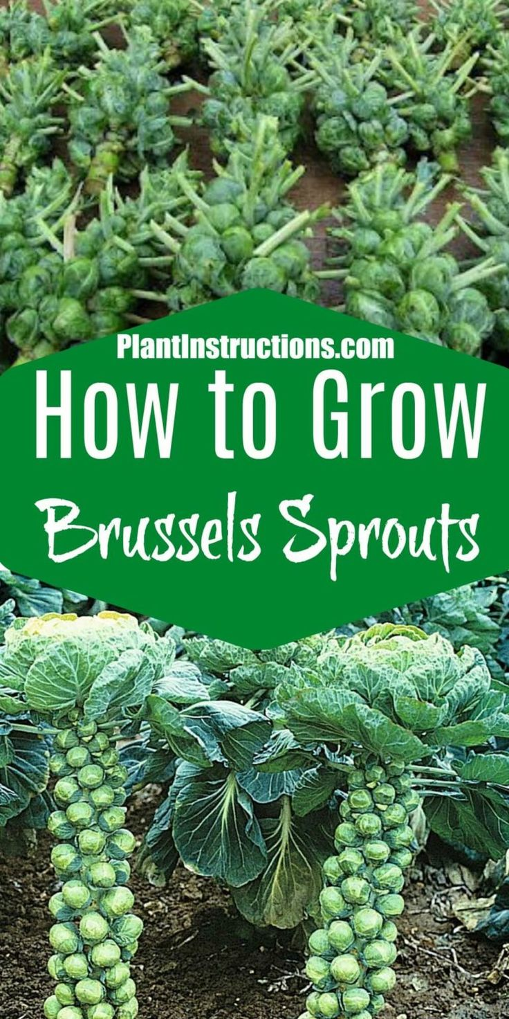 Brussel Sprout Recipes Easy Healthy