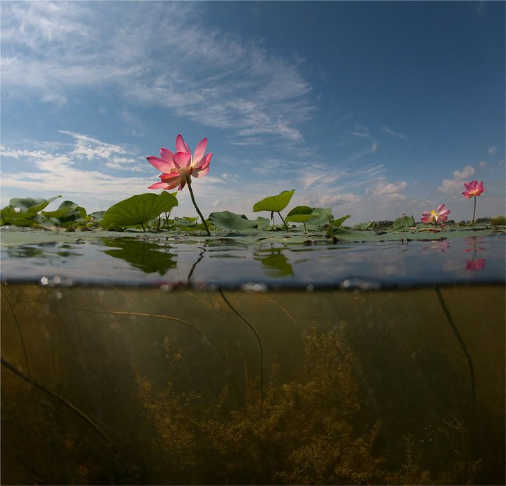 "Lotuses by Sergey Lukankin on 500px ""Astrakhan. Lotuses."""