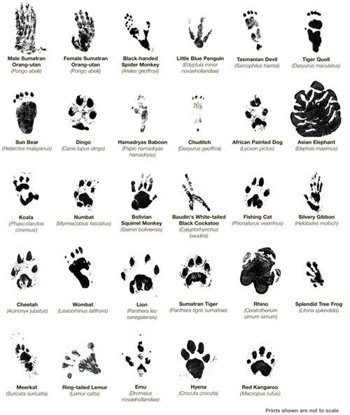 Identifying Big Cat Paw Prints