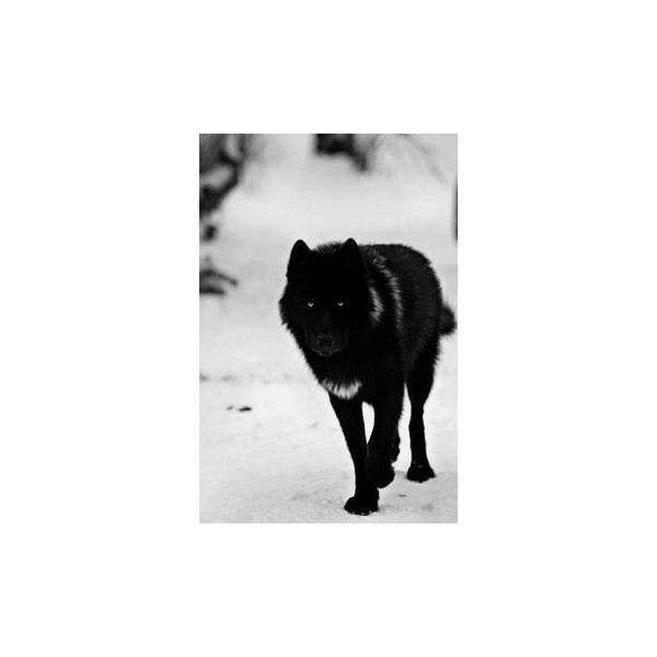 22 Scary Photos of Wild Wolves ❤ liked on Polyvore featuring animals, pictures, tier, wolf and wolves