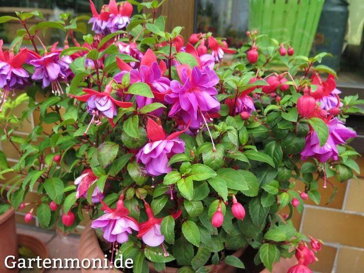 Die 25+ Besten Ideen Zu Mehrjährige Pflanzen Auf Pinterest ... Nelken Im Garten Pflanzen Arten Blumen Tipps