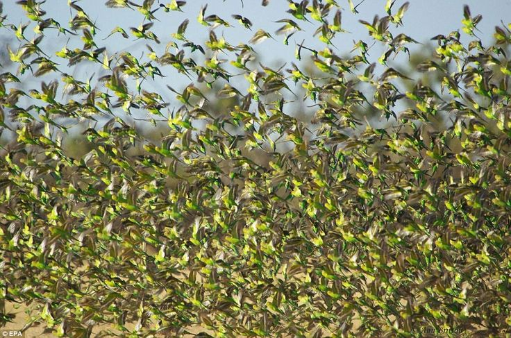I must see a flock of wild budgerigars in far-western Queensland, Australia before I leave this earth...