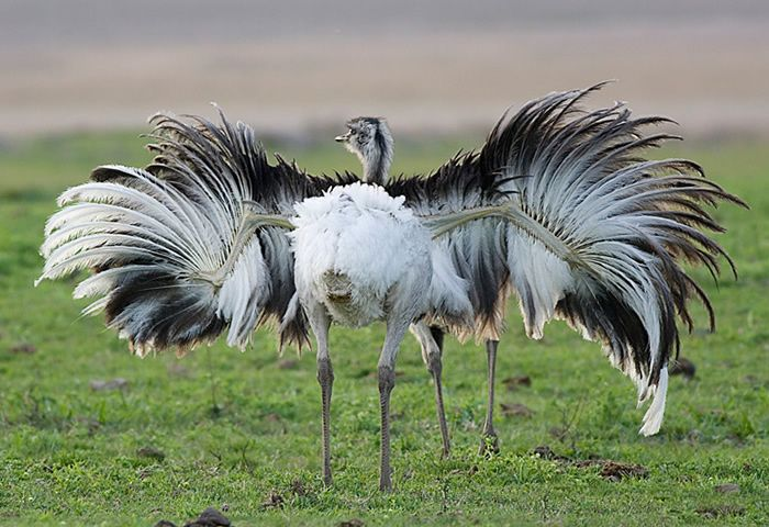 Enciclopedia animal   Animales de la sabana - Ñandú común o avestruz americano