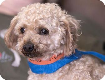 Pictures of Champ a Miniature Poodle for adoption in Colorado Springs, CO who needs a loving home.