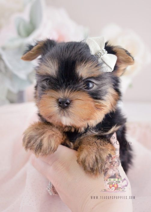 Yorkie Puppy For Sale #066 Teacup Puppies | Stuff to Buy
