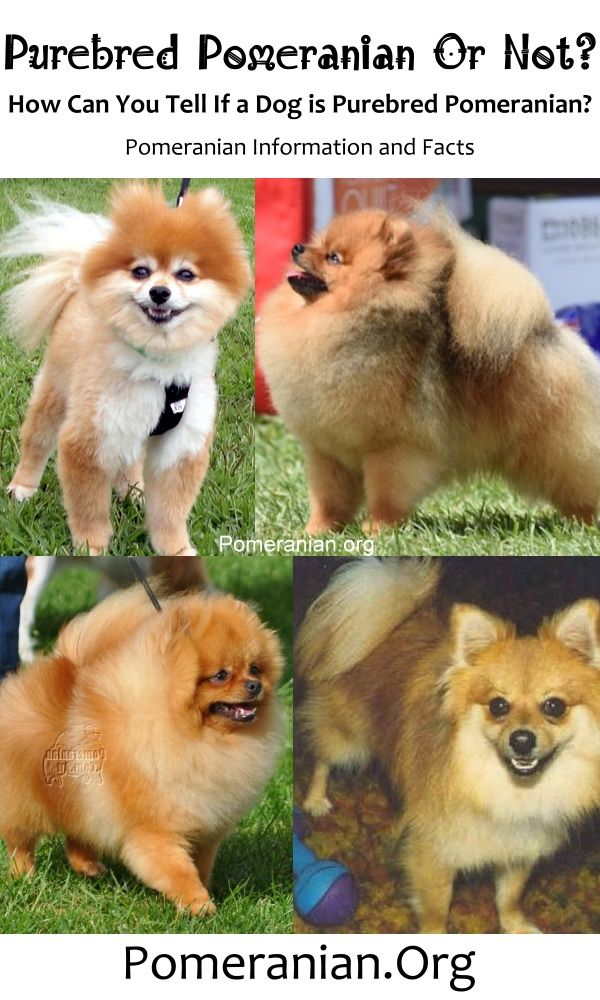 Dog Is A Purebred Pomeranian