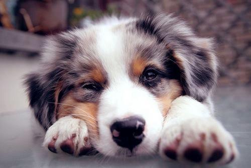 Australian Shepherd, these dogs are beautiful