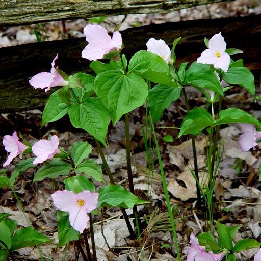 Native Ontario Plants: 137 Best Images About Trillium On Pinterest