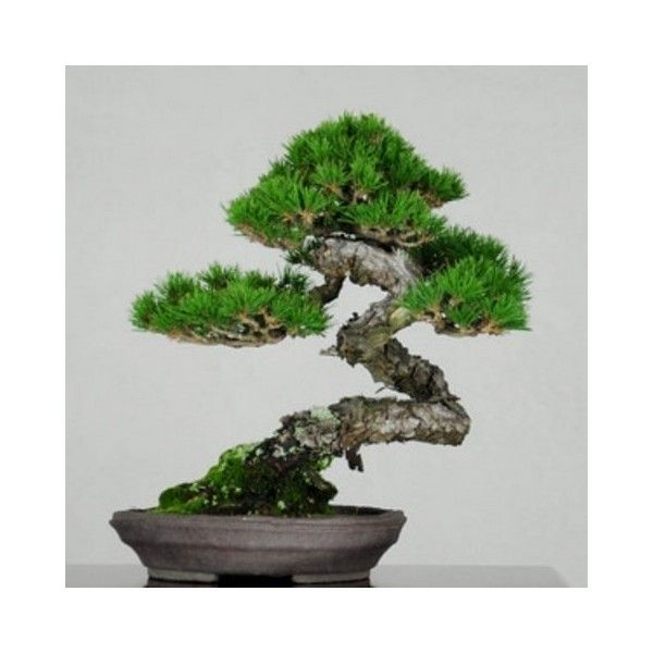 die besten 25 bonsai samen ideen auf pinterest bonsai obstbaum bonsai baum preis und. Black Bedroom Furniture Sets. Home Design Ideas