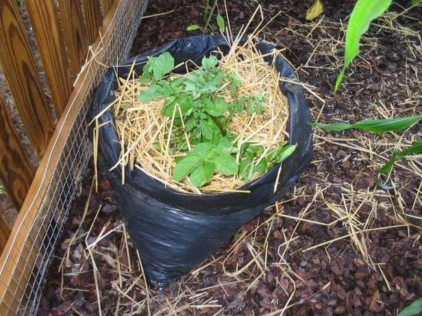 Grow potatoes in a trash bag