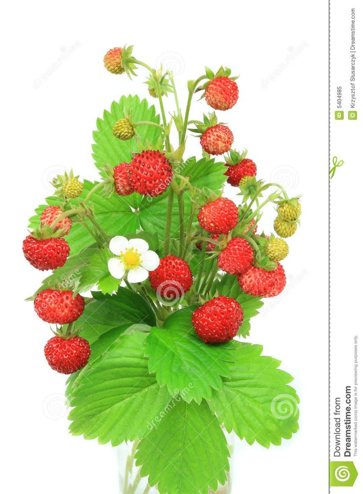 botanical illustrations forest strawberries - Google Search