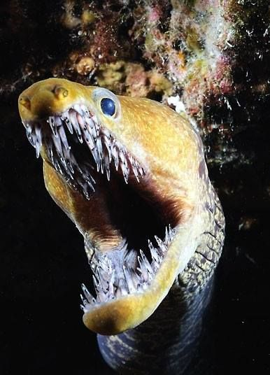 "The Fangtooth Moray eel is distinctive for its bright yellow colouring and elongated jaw, filled with long ""glasslike"" teeth. It can reach up to 120 cm in length."