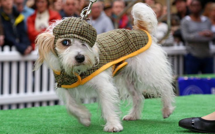 Rabbit, a Jack Russell cross, takes part in the canine fashion show during the Old Spitalfields Market Paw Pageant in London. A host of doggy dudes donned couture designer fashions from the queen of canine couture, Lilly Shahravesh of LoveMyDog, to raise funds for Battersea Dog & Cats Home in a special doggy fashion show.