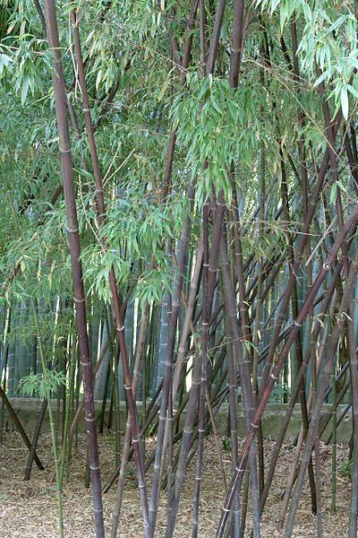 Phyllostachys nigra, el Bambú negro. Muy ornamental por sus tallos de color negro, se adapta a todas las situaciones: sombra-media sombra y pleno sol.