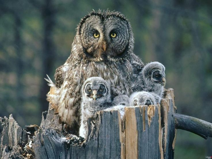 Great Gray owl with babies