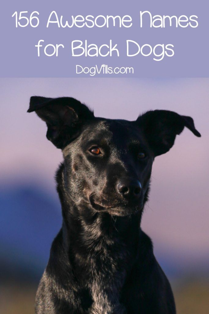 156 Epic Black Dog Names For Your Ebony Pup With Images Black