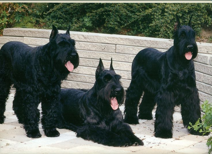 I will have a Giant Schnauzer one day!