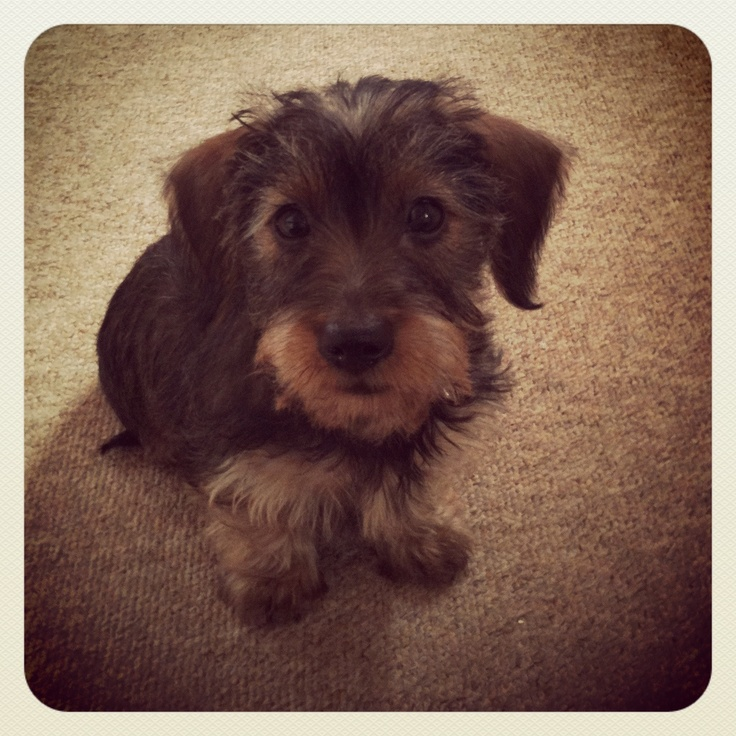 Puppy love! Miniature dachshund, wire hair