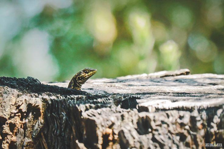 En un tronco se asomó, en una calurosa tarde se dejó ver, su timidez olvidó para así poderla fotografiar. ____// La lagartija esbelta o tenue (Liolaemus tenuis) corresponde a un pequeño lagarto perteneciente a la familia Liolaemidae, de amplia distribución en Chile. Fuente: Wikipedia