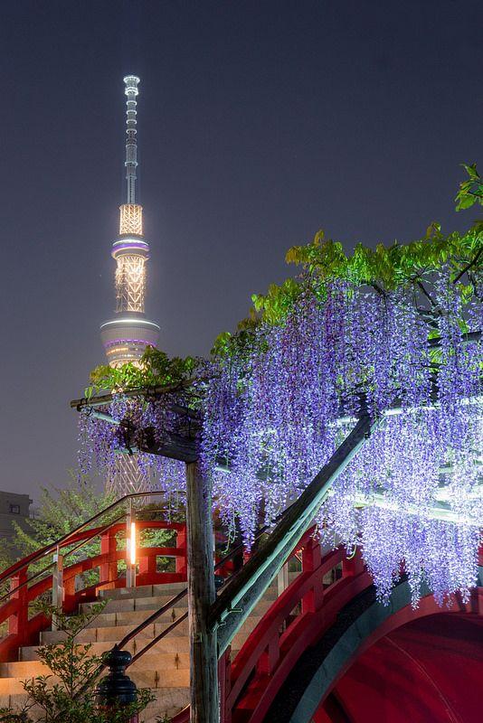 Wisteria at Kameidoten-jinja, Tokyo  東京 亀戸天神