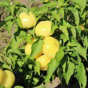 Hot Ball F1 paprika: Folytonnövő, erőteljes növekedésű paprika, levelei középzöldek. Bogyója sárgásfehér színű, vastag húsú, lapított gömb alakú, csüngő állású, csípős, ízletes. Friss fogyasztásra, savanyításra, töltve savanyításra kiváló. Bőtermő, kemény bogyójú, sokáig pulton tartható, jól szállítható.