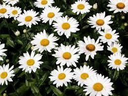 Image result for shasta daisy