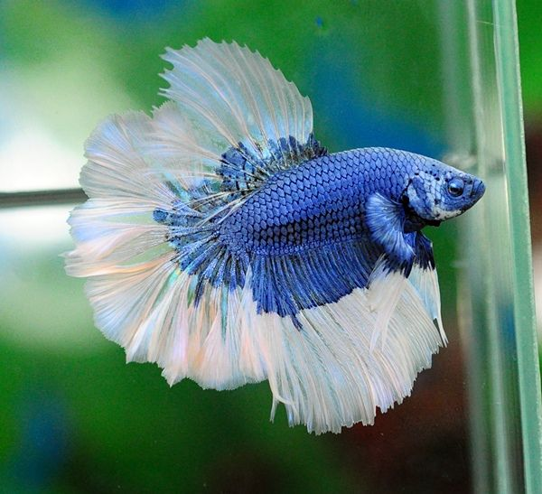 244 best images about badass fish keeping humour on pinterest for Betta fish friends