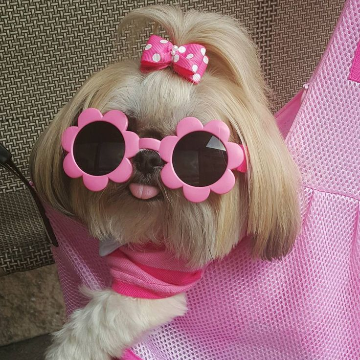 Sparkles the Shih Tzu loves her new glasses