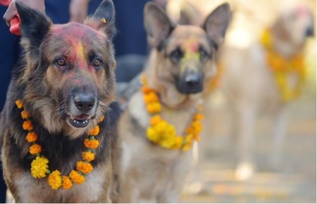 Nepalese police dogs look on after being smeared with vermillion on their foreheads and marigold garlands placed around their necks on the occasion of the Tihar festival in Kathmandu on November 13, 2012. On Tihar, as the Hindu festival of Diwali is locally known, it is customary in Nepal for people offer blessings to dogs, which are according to Hindu tradition, the messengers of Yamaraj, the god of death.