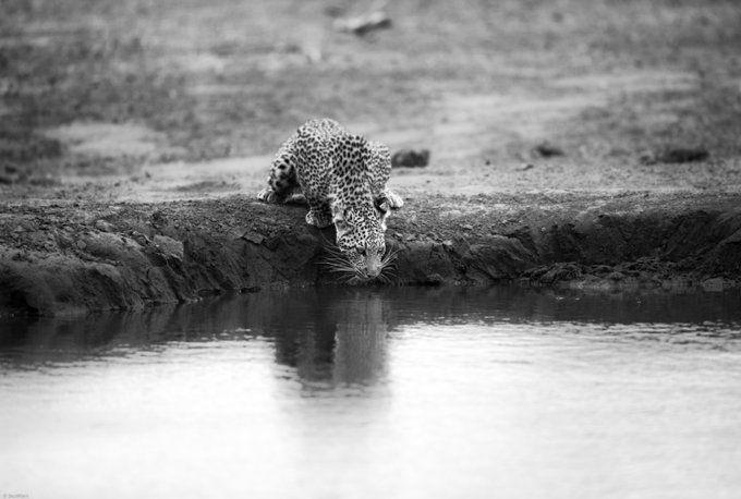 Una cría de leopardo bebe agua en la Mashatu Game Reserve, Botsuana, por Jaco Marx