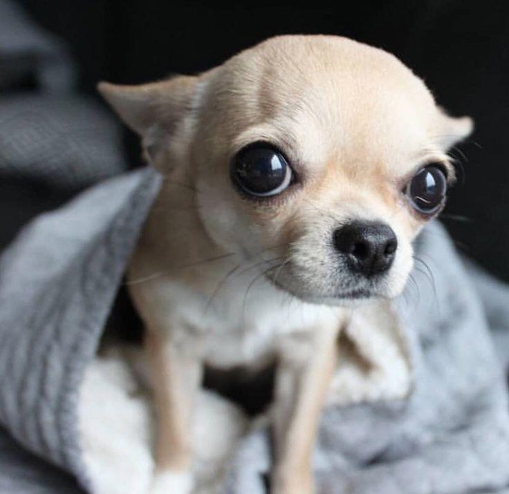Chihuahua Dog Chiwawa Dog Information In 2020 Cute Chihuahua