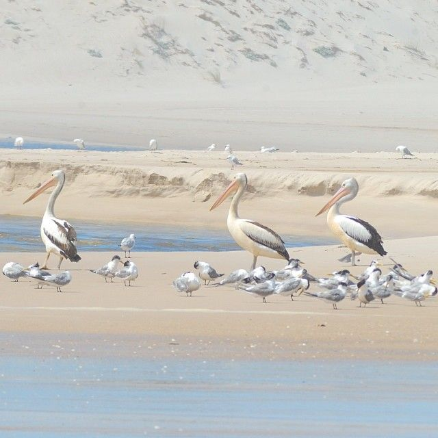 Pelicans at the mouth of the Warren River, Western Australia