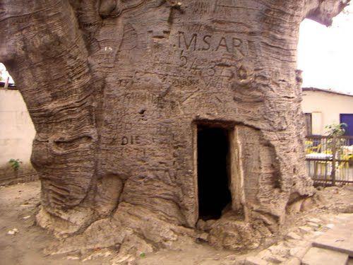 Stanley's Baobab. Boma, Congo   in darkest africa 1891 ...