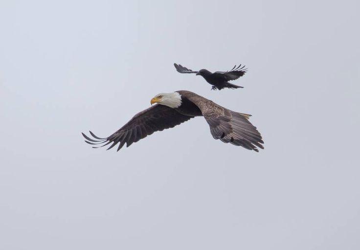 Un cuervo aterrizando y montando sobre el lomo de un águila calva, en pleno vuelo.